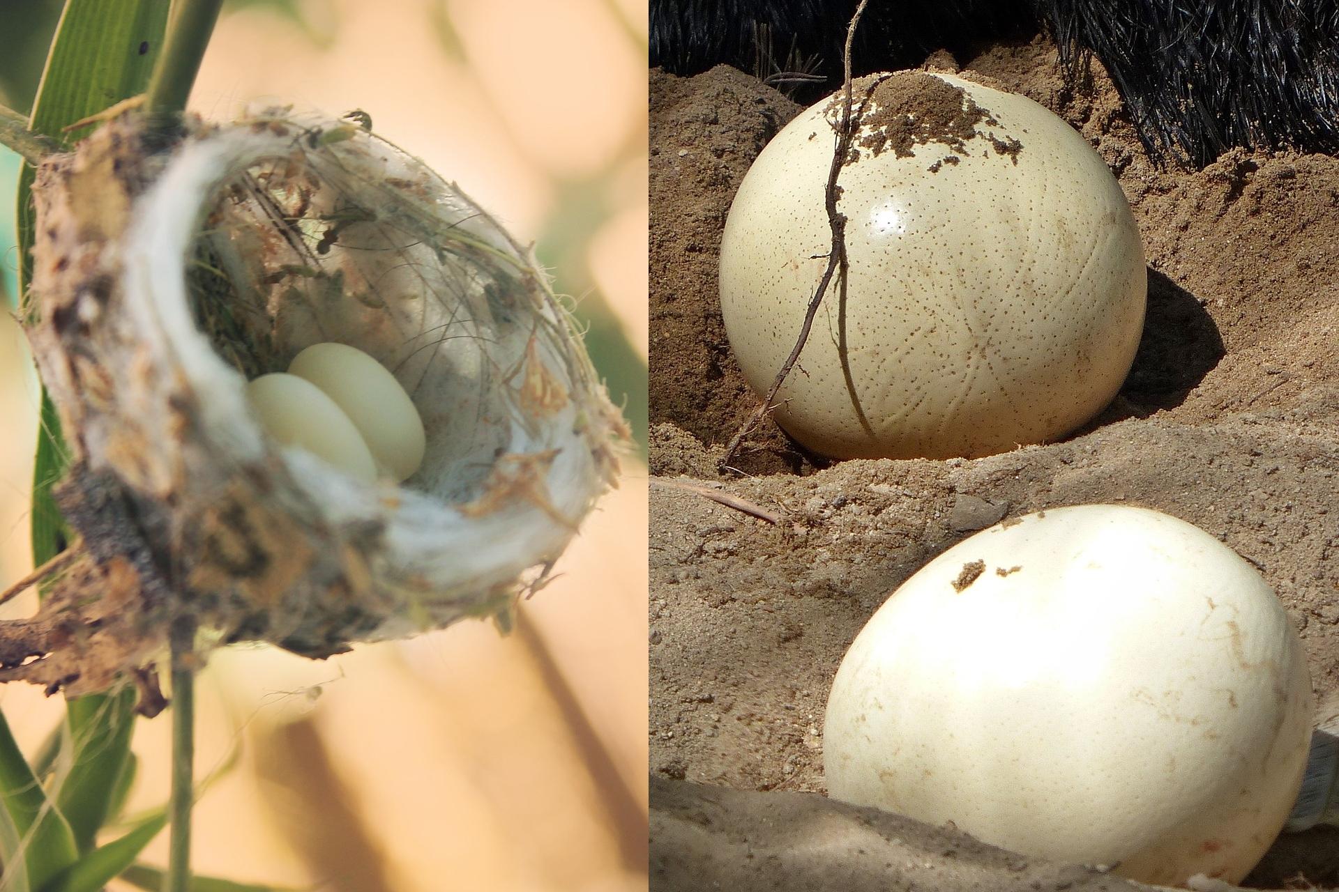Kolibřík, pštros, vejce